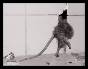 krysa (Vlastní)